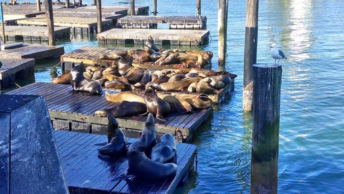 The sealions enjoying the brisk San Fran weather